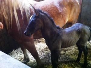 eersteveulen-paardenmelkerij-delagewierde-groningen-friesland-drenthe